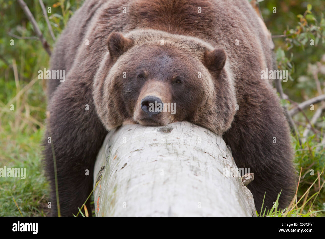 A female grizzly lazily lies draped over a log, Alaska Wildlife Conservation Center, Southcentral Alaska, Summer. - Stock Image