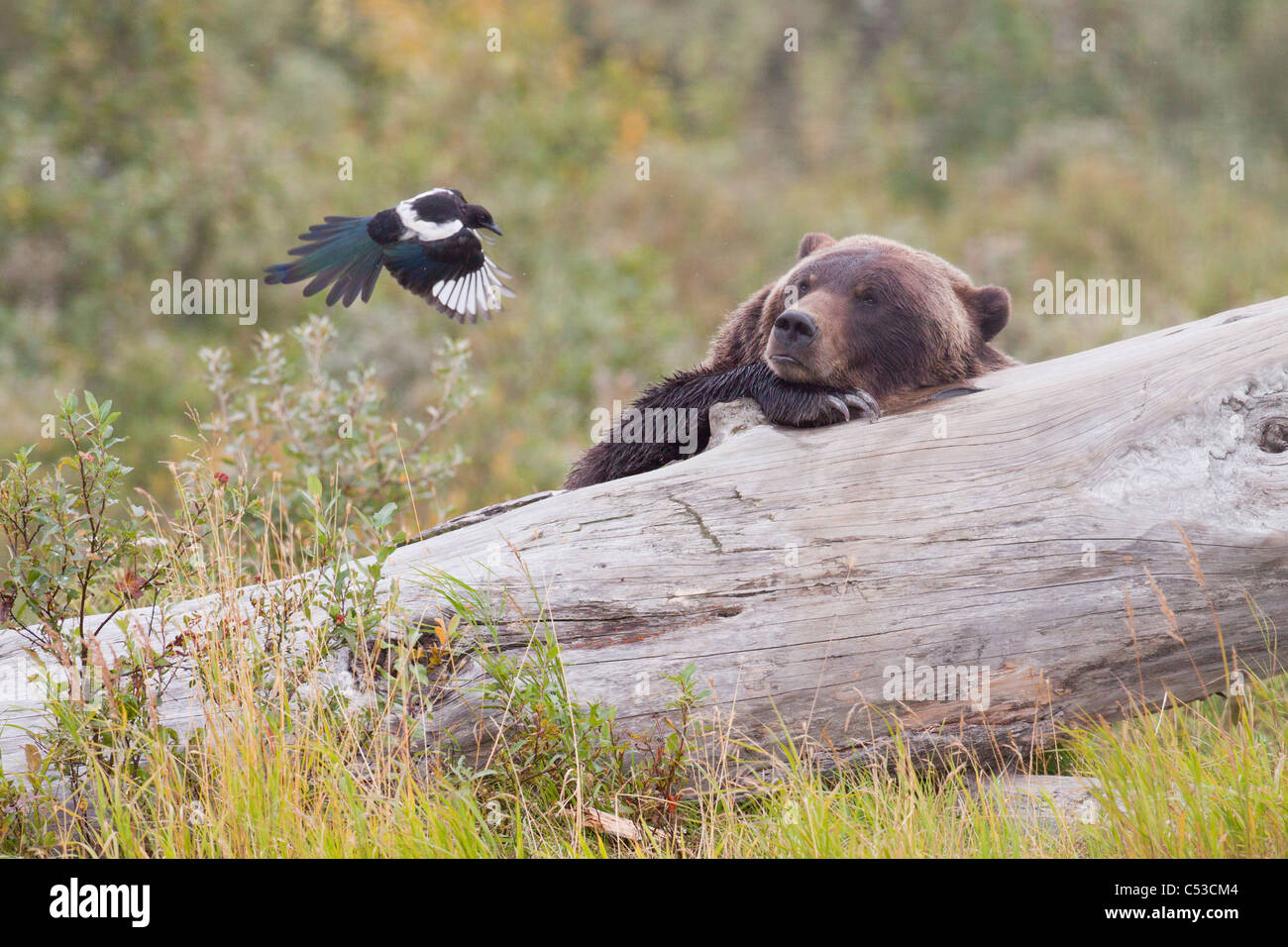 Grizzly bear lies on a log and watches a Magpie flying a few feet away, Alaska Wildlife Conservation Center, Alaska. - Stock Image
