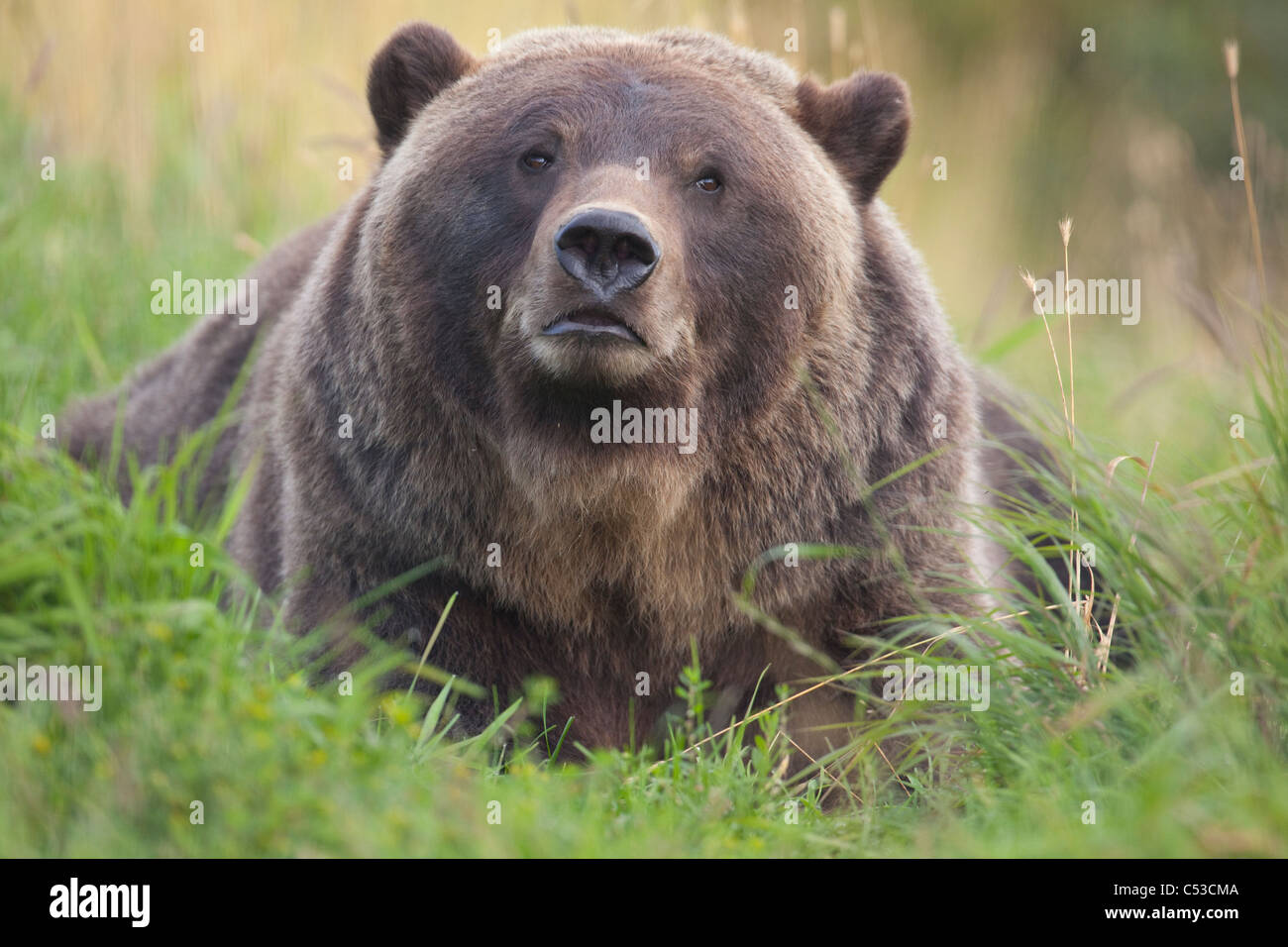 Close up of a female Brown bear resting in green grass at the Alaska Wildlife Conservation Center, Alaska, Summer. - Stock Image