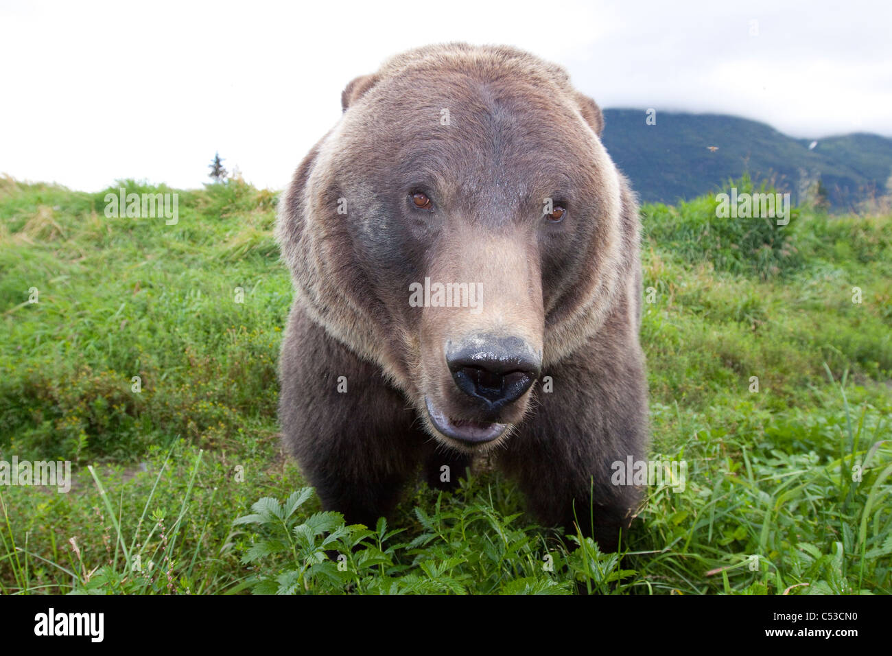 Close up wide-angle view of a Brown bear at Alaska Wildlife Conservation Center, Southcentral Alaska, Summer. Captive - Stock Image