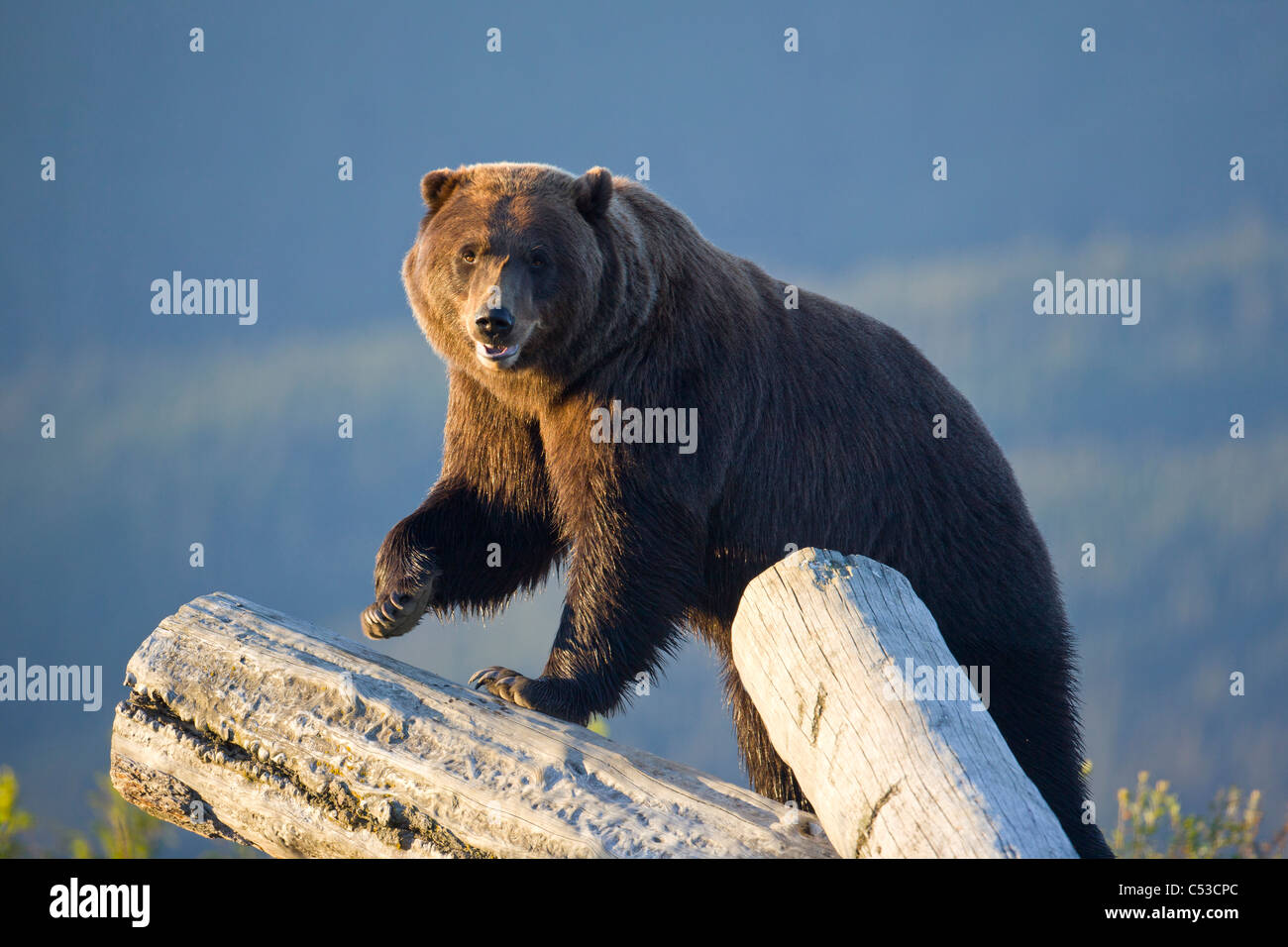 A captive Brown bear stands on a log pile in late afternoon at Alaska Wildlife Conservation Center, Alaska, Summer. - Stock Image
