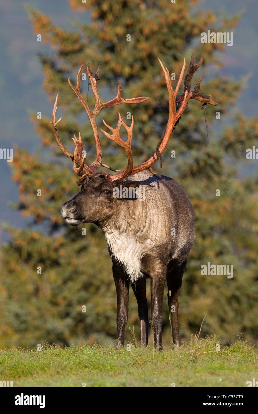 Bull Caribou standing in grass on a sunny day at Alaska Wildlife Conservation Center, Southcentral Alaska, Summer. - Stock Image