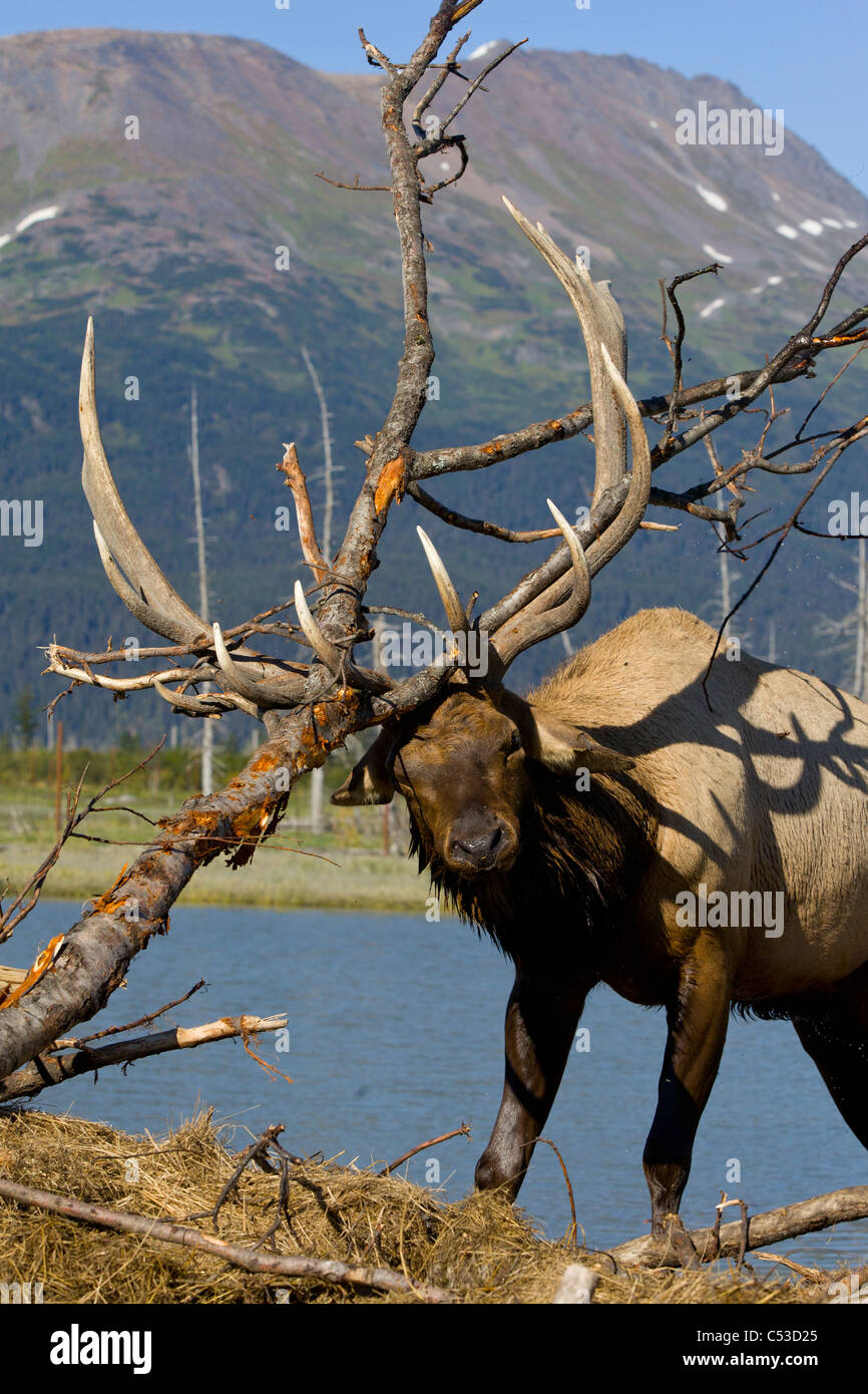 An adult Roosevelt bull elk thrashes a tree with his antlers during the Autumn rut, near Portage, Southcentral Alaska. - Stock Image