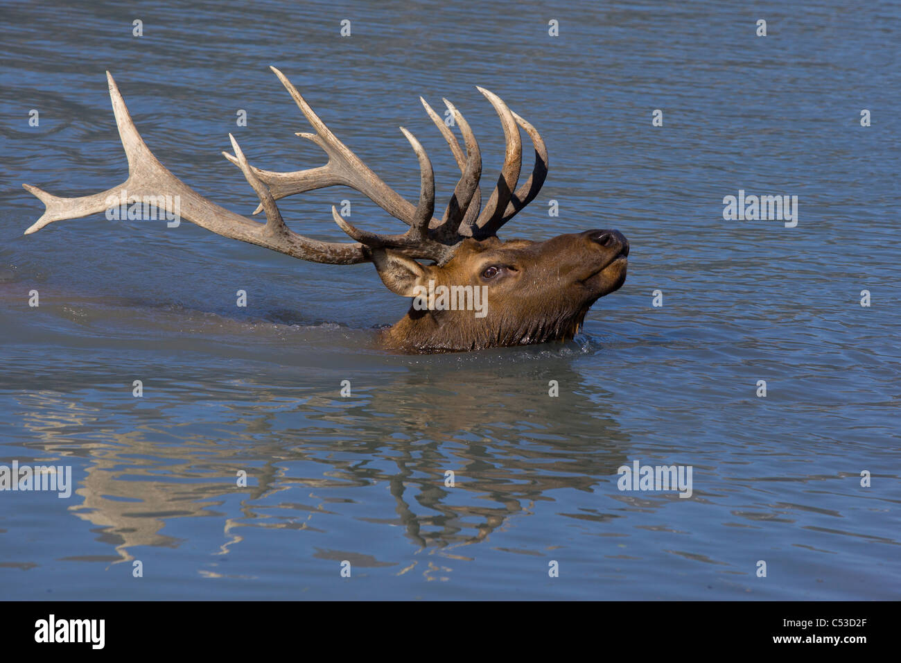 An adult Roosevelt bull elk swims across a pond with his head and antlers above water at the near Portage, Alaska. - Stock Image