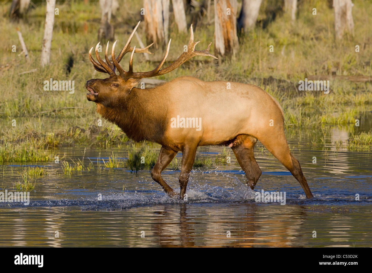 An adult bull Roosevelt elk walks through a pond while bugling, near Portage, Alaska, Autumnm. CAPTIVE - Stock Image