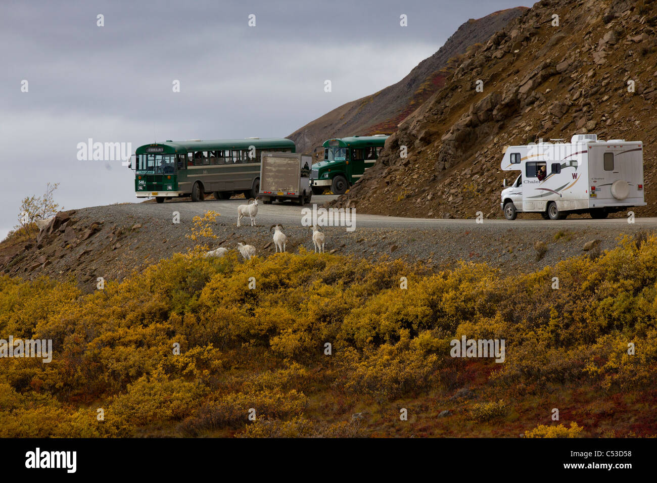 Buses and campers stop to view a band of adult Dall Sheep rams near the Park Road in Denali National Park, Alaska - Stock Image