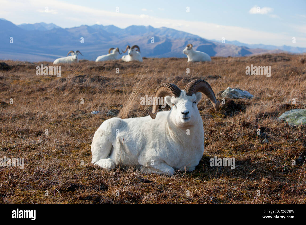 A band of Dall sheep rams lie and rest in a high mountain meadow, Denali National Park and Preserve, Interior Alaska, Stock Photo