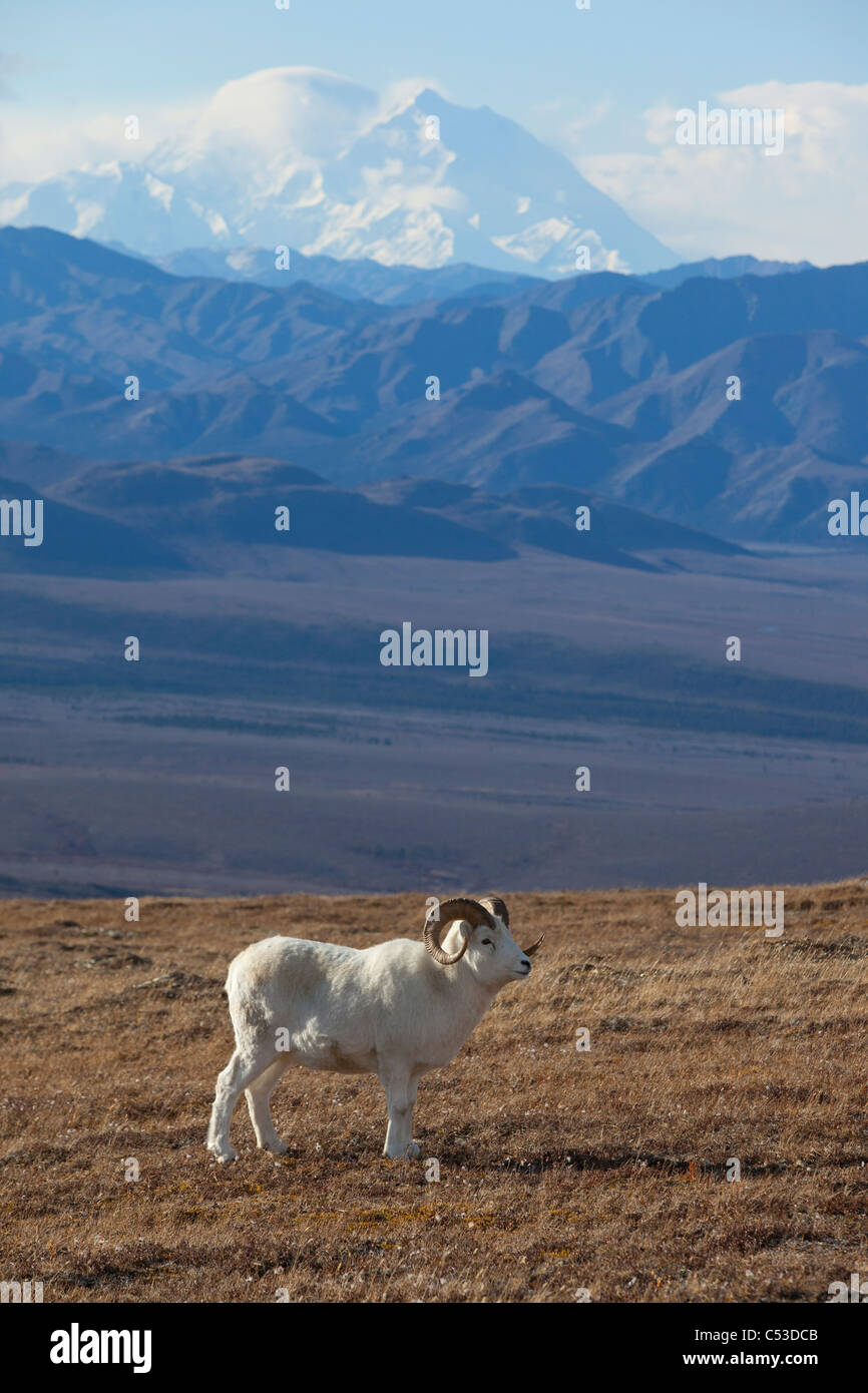 A mature Dall sheep ram stands in a high mountain meadow with Mt. McKinley in the background, Interior Alaska, Autumn - Stock Image