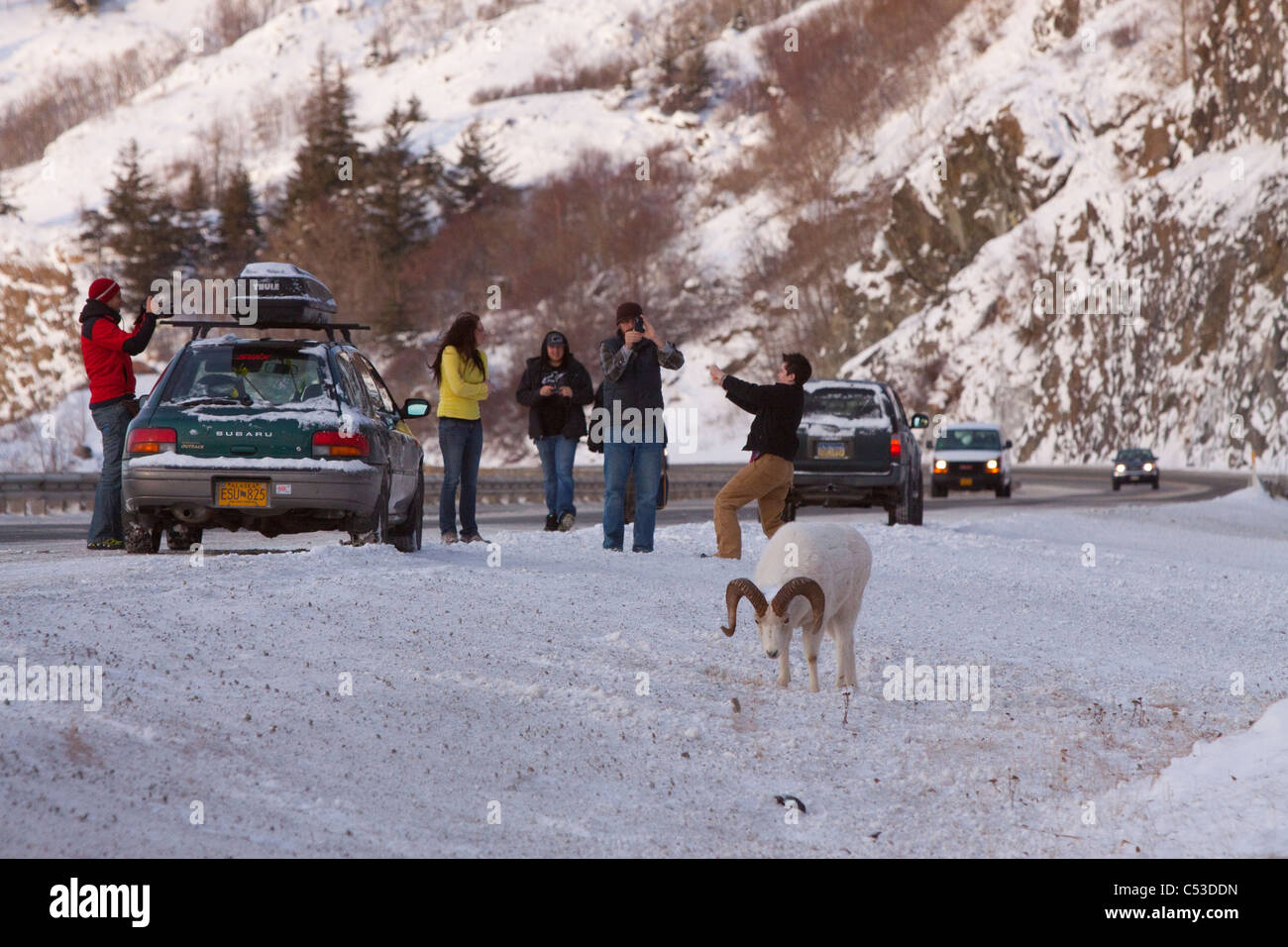 People stop along the Seward Highway to photograph a ram Dall sheep along the road, Turnagain Arm, Southcentral - Stock Image