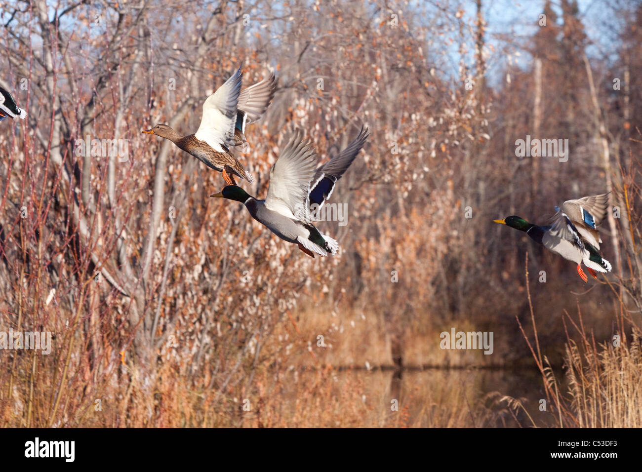 Two drake and one hen Mallard ducks flush from a pond in Anchorage, Southcentral Alaska, Autumn - Stock Image