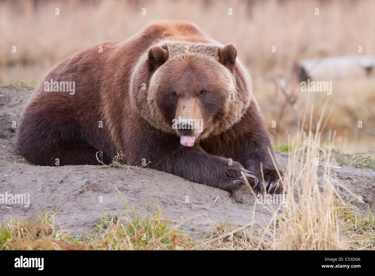 A Grizzly bear lays on a dirt mound at Alaska Wildlife Conservation Center with its tongue hanging out, Alaska. - Stock Image