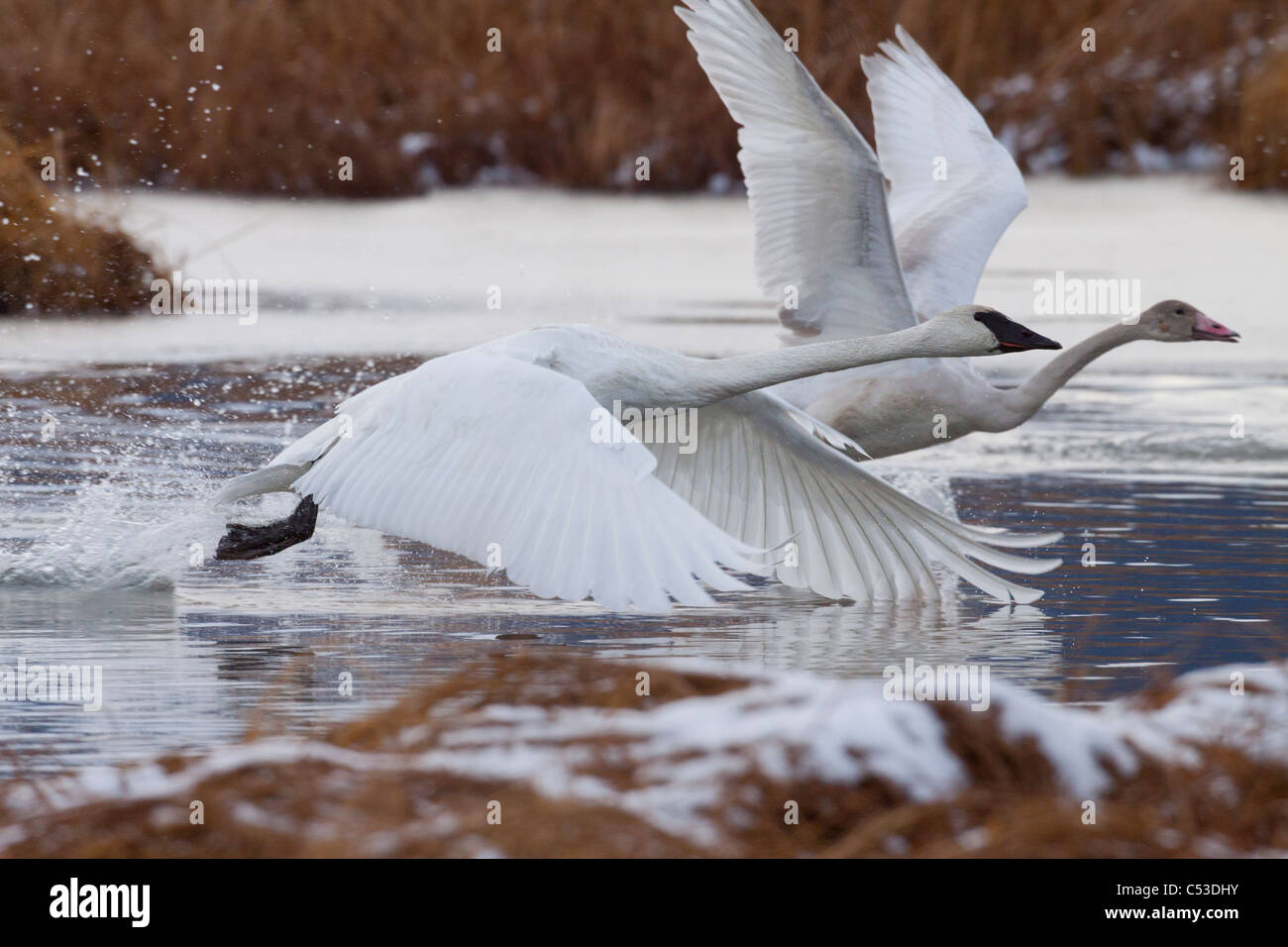 An adult and juvenile Trumpeter Swan take off from a pond near Girdwood, Southcentral Alaska, Autumn - Stock Image