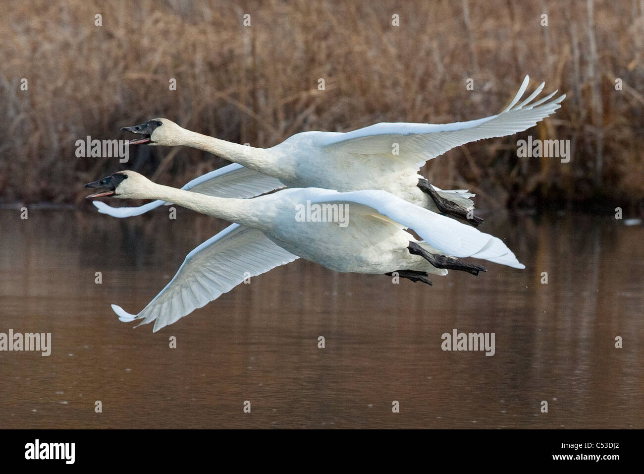 Two adult Trumpeter Swans fly over Potter Marsh, near Anchorage, Southcentral Alaska, Autumn - Stock Image