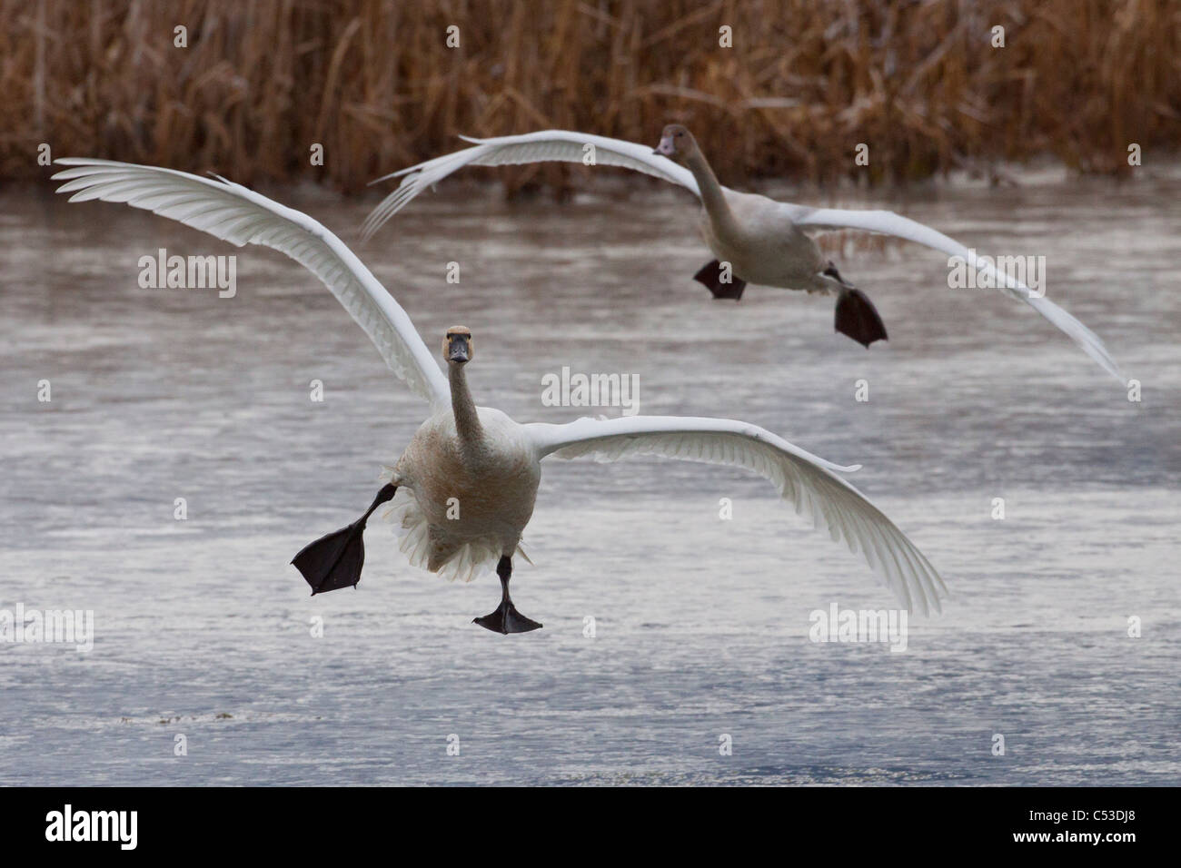 Two Tundra Swans fly over a pond near Portage, Southcentral Alaska, Autumn - Stock Image