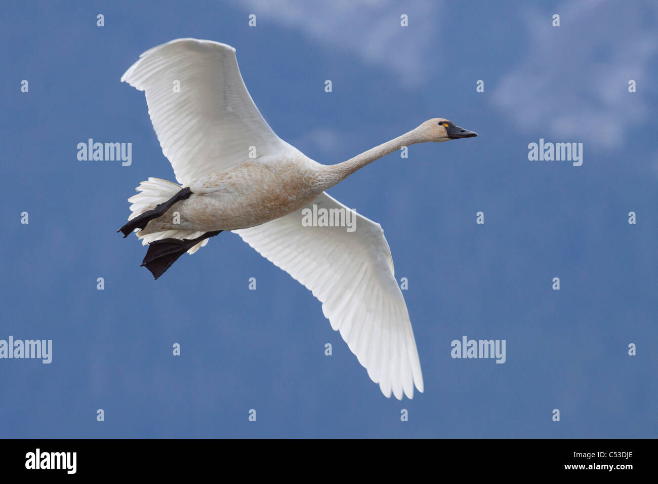 A Tundra Swan flys through the blue sky near Portage, Southcentral Alaska, Autumn - Stock Image