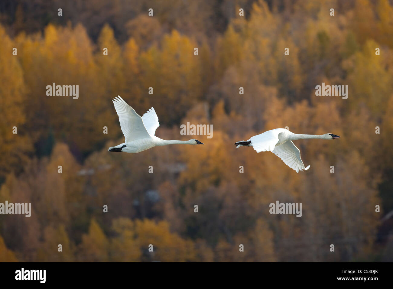 Two adult Trumpeter Swans fly over Potter Marsh near Anchorage, Southcentral Alaska, Autumn - Stock Image