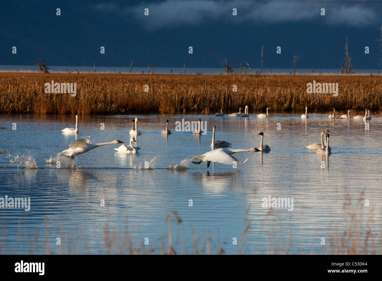 A pair of Trumpeter Swans take off from a pond near Girdwood while a group of swans swim in the background, Alaska Stock Photo