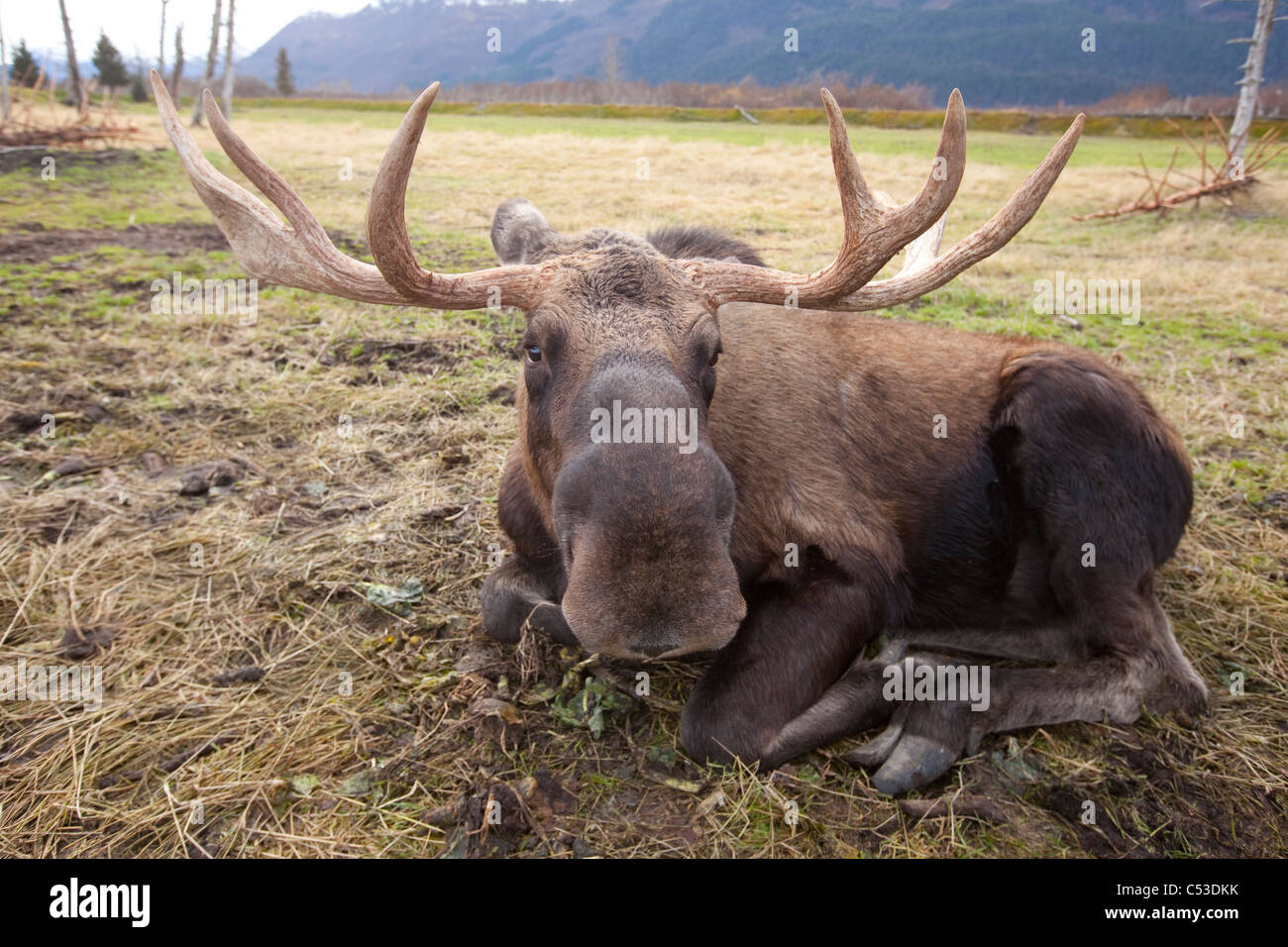 A wide-angle view of a bull moose lying in grass at the Alaska Widllife Conservation Center, Alaska. CAPTIVE - Stock Image