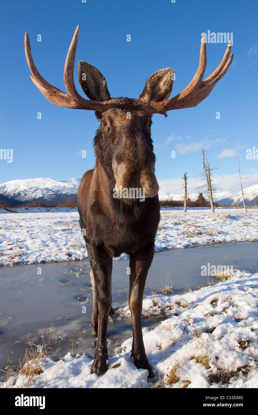 A wide-angle view of a bull moose standing on thin snow at the Alaska Widllife Conservation Center, Alaska. CAPTIVE - Stock Image