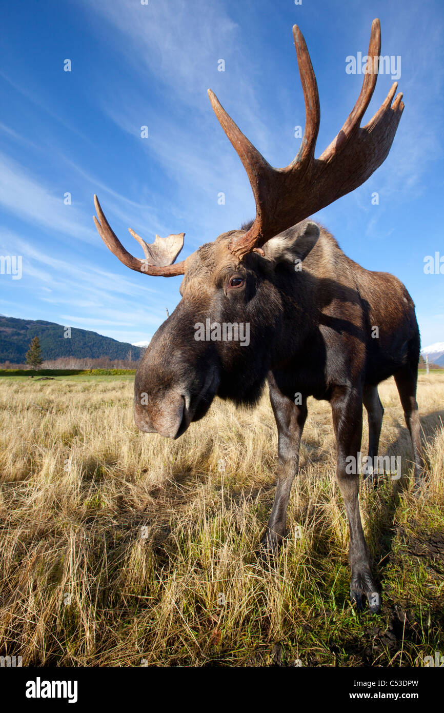 A wide-angle close-up view of a bull moose at the Alaska Widllife Conservation Center, Southcentral Alaska, Autumn. - Stock Image