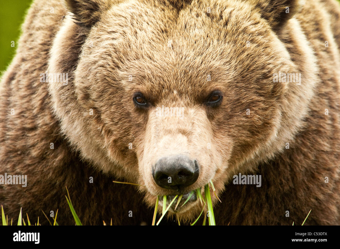 Brown bear feed on sedge grass at the McNeil River State Game Sanctuary, Southwest Alaska, Summer - Stock Image