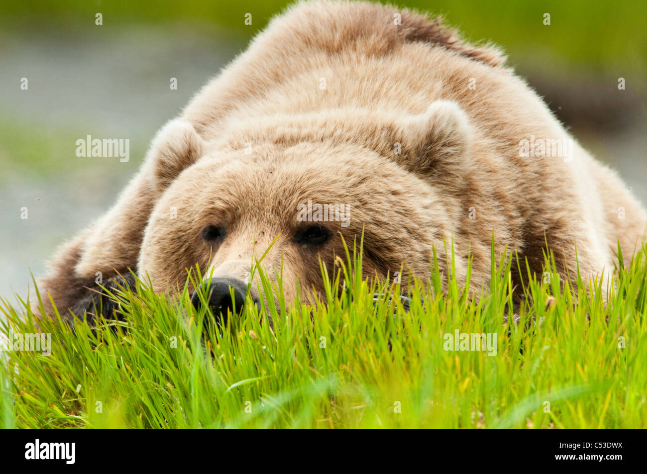 Brown bear resting on sedge grass at the McNeil River State Game Sanctuary, Southwest Alaska, Summer - Stock Image
