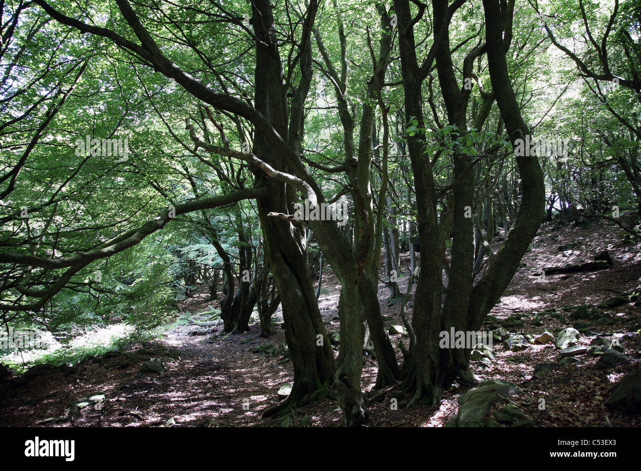Ancient beech woodland around Blaenavon, South Wales. - Stock Image