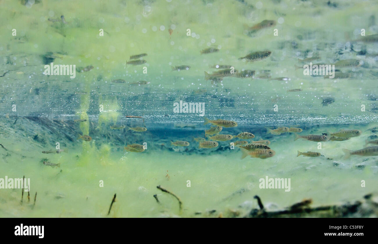 Underwater view of coho salmon fry and three-spine stickleback rearing in Power Creek, Copper River Delta, Alaska - Stock Image