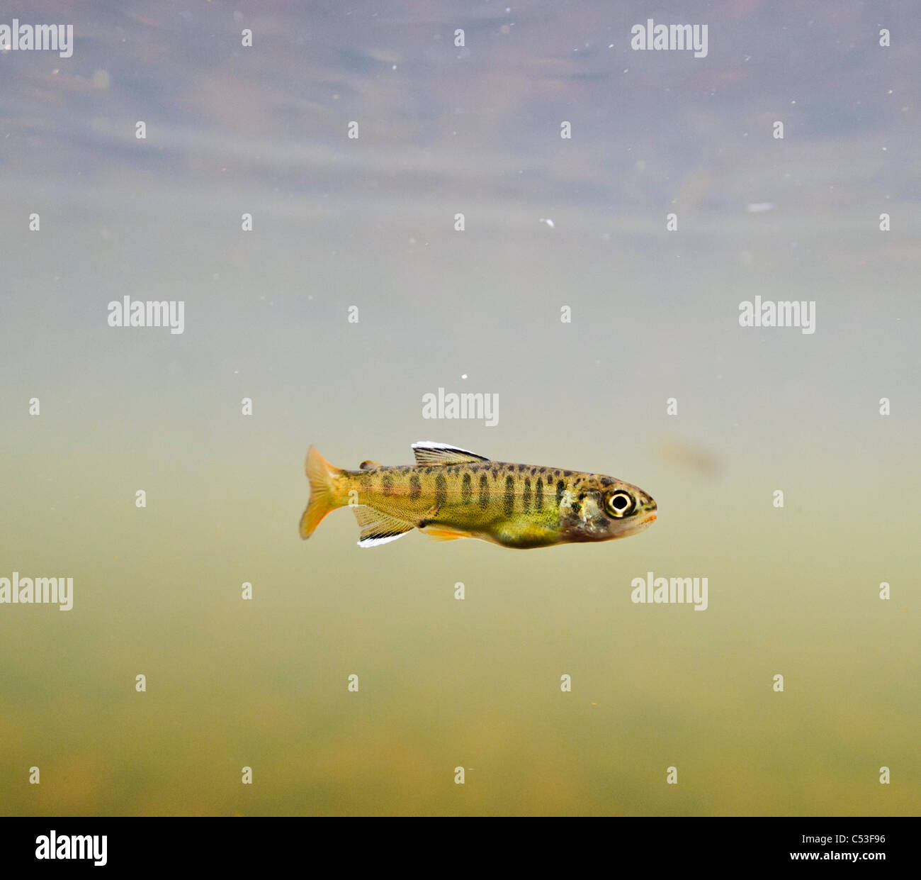 Underwater view of a recently emerged coho salmon fry rearing in 18-mile Creek, Copper River Delta, Alaska. - Stock Image