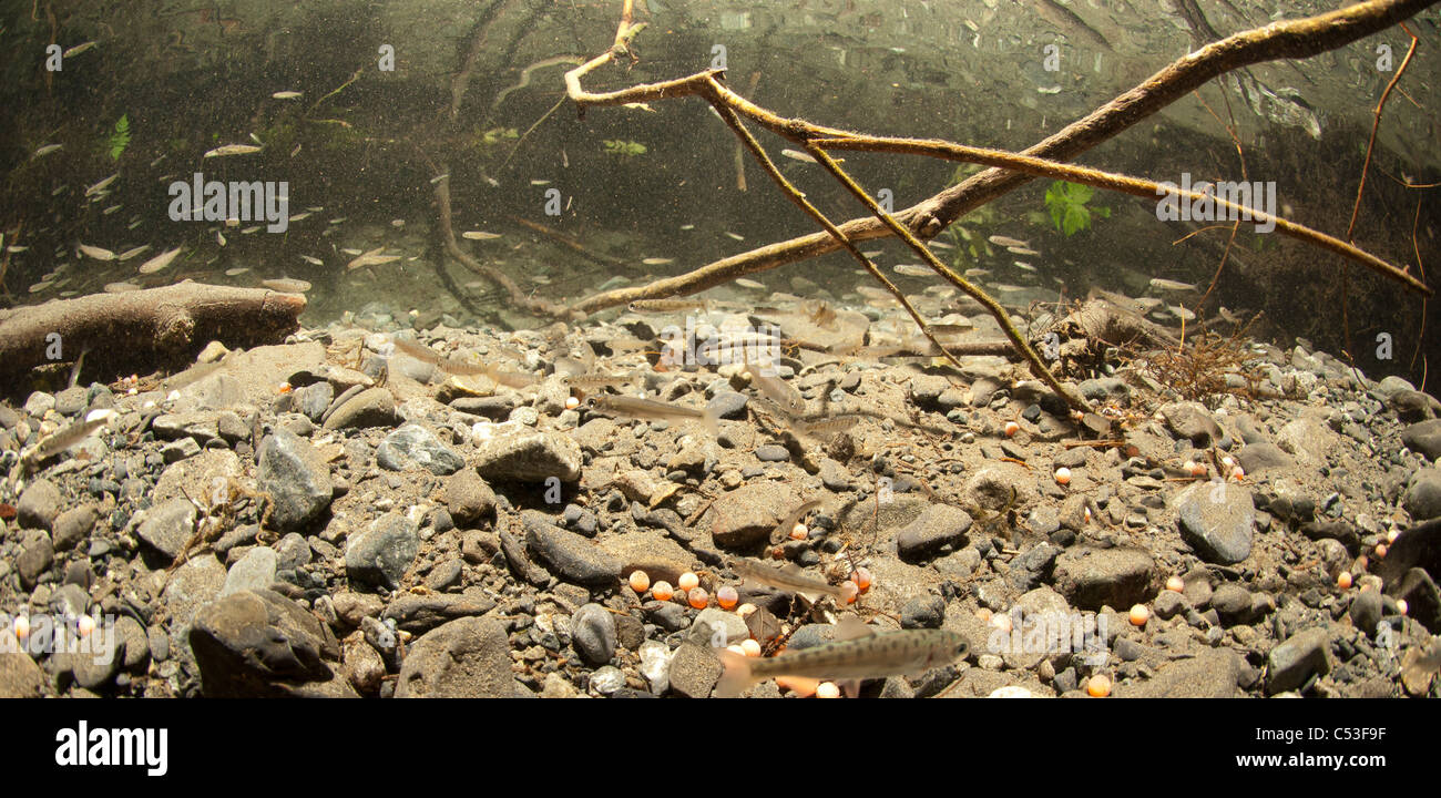 Underwater view of coho and sockeye salmon fry rearing in Power Creek, near Cordova, Copper River Delta, Alaska - Stock Image