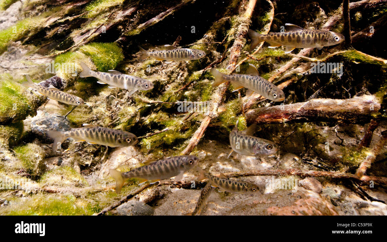 Underwater view of Chinook salmon fry rearing in Bernard Creek, Alaska - Stock Image