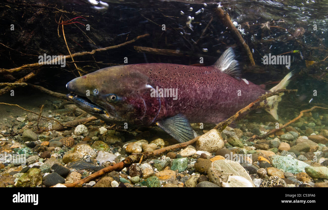 Underwater view of a spawning female Chinook salmon in Bernard Creek, a tributary of the Tonsina River, Alaska - Stock Image