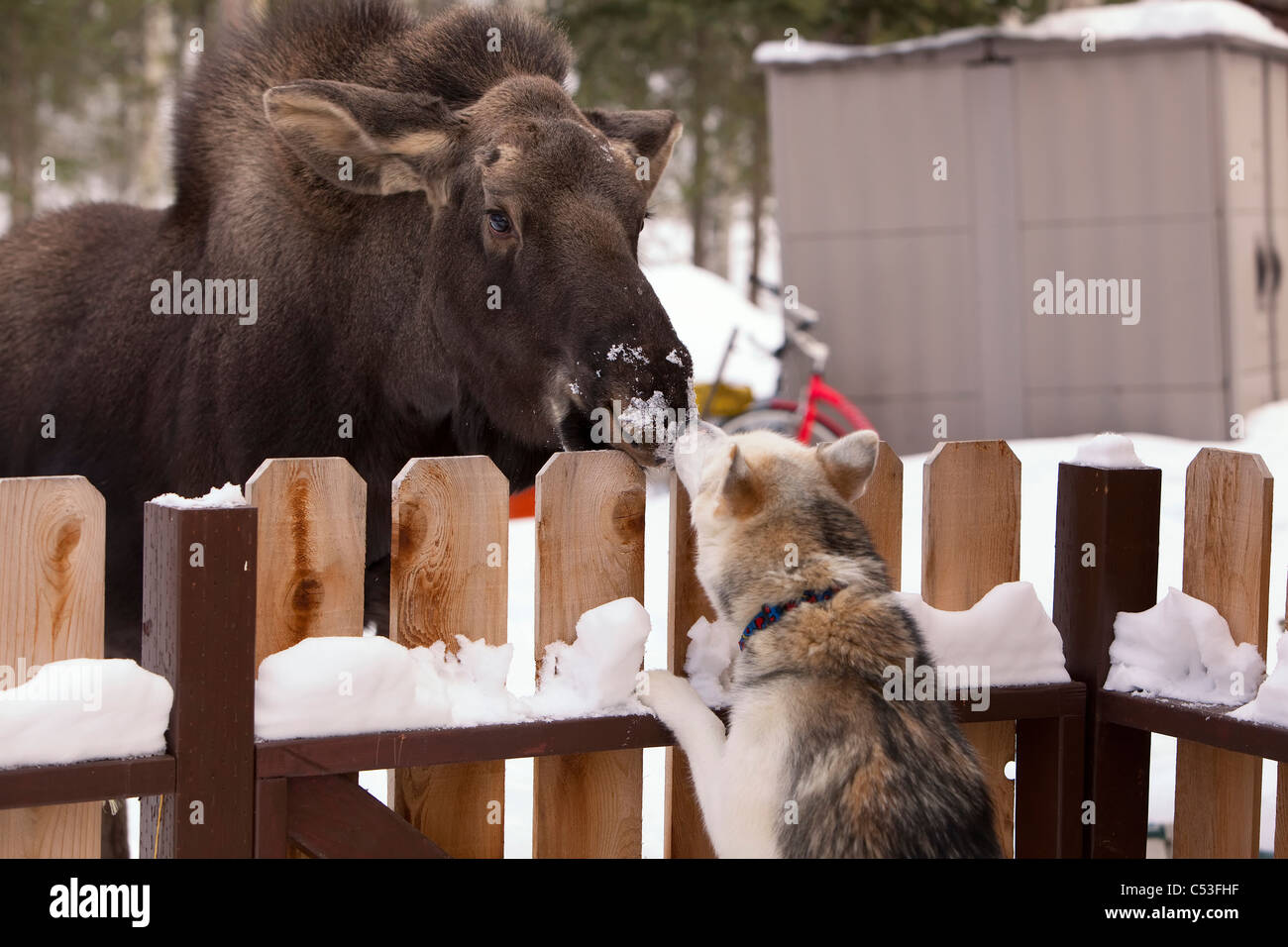 Siberian Husky and a moose calf nose to nose over a picket fence, Wasilla, Southcentral Alaska, Winter - Stock Image