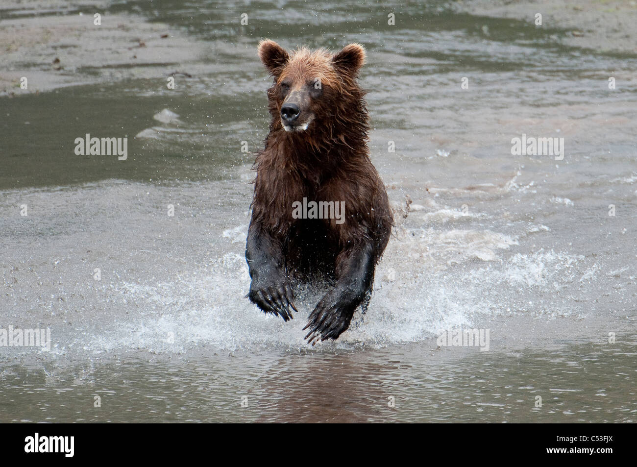 Brown Bear chases fish on a beach in Chinitna Bay, Lake Clark National Park, Southcentral Alaska, Summer - Stock Image