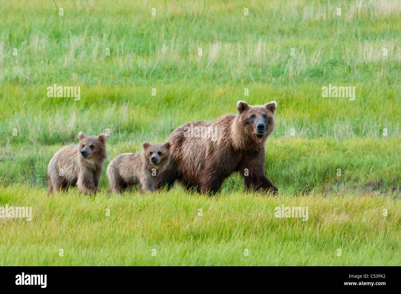 Brown bear sow walks with her cubs in a grassy meadow, Chinitna Bay, Lake Clark National Park, Southcentral Alaska, Stock Photo