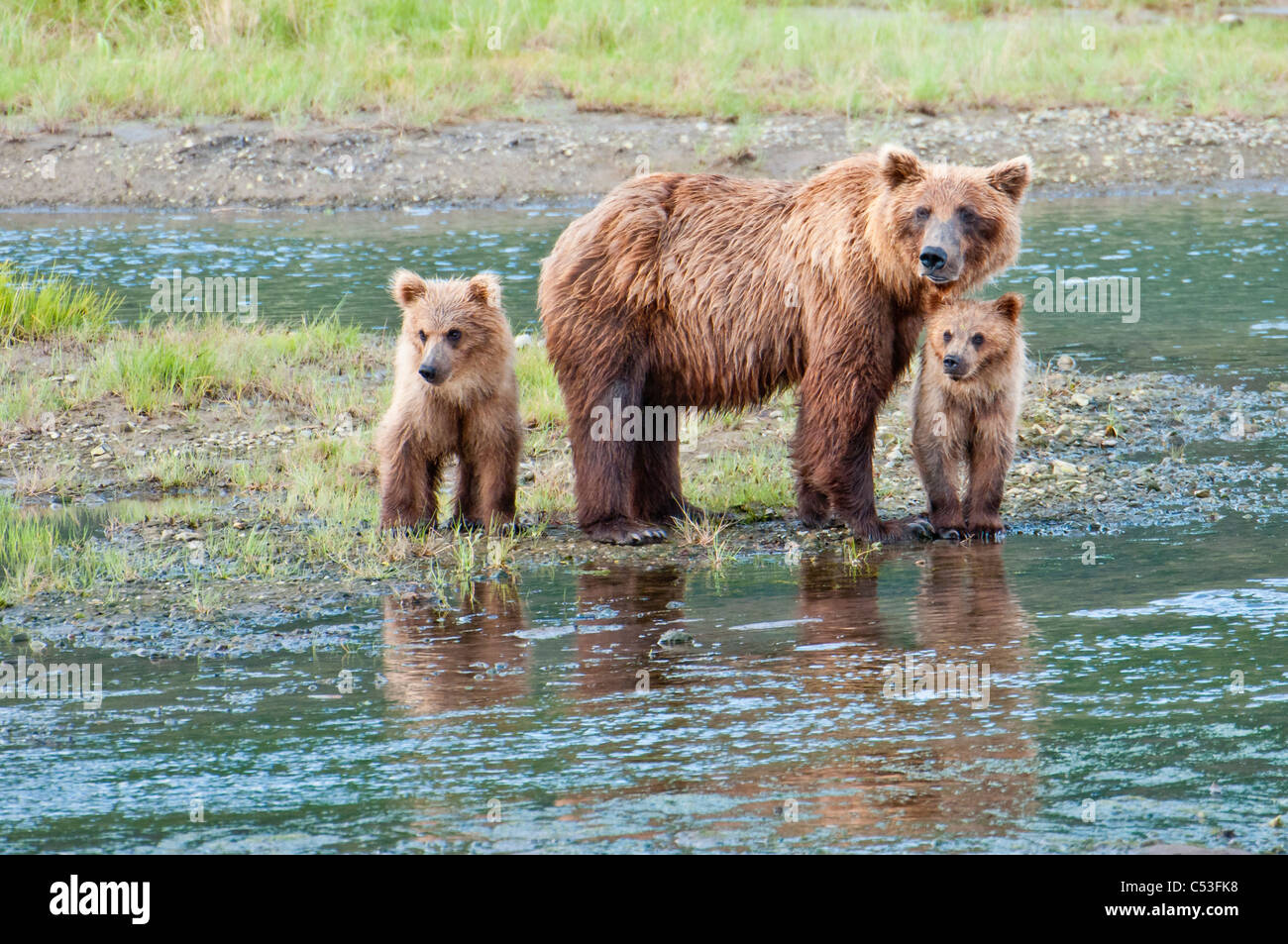 Brown Bear sow stands in a stream with her spring cubs in Chinitna Bay, Lake Clark National Park, Southcentral Alaska, - Stock Image