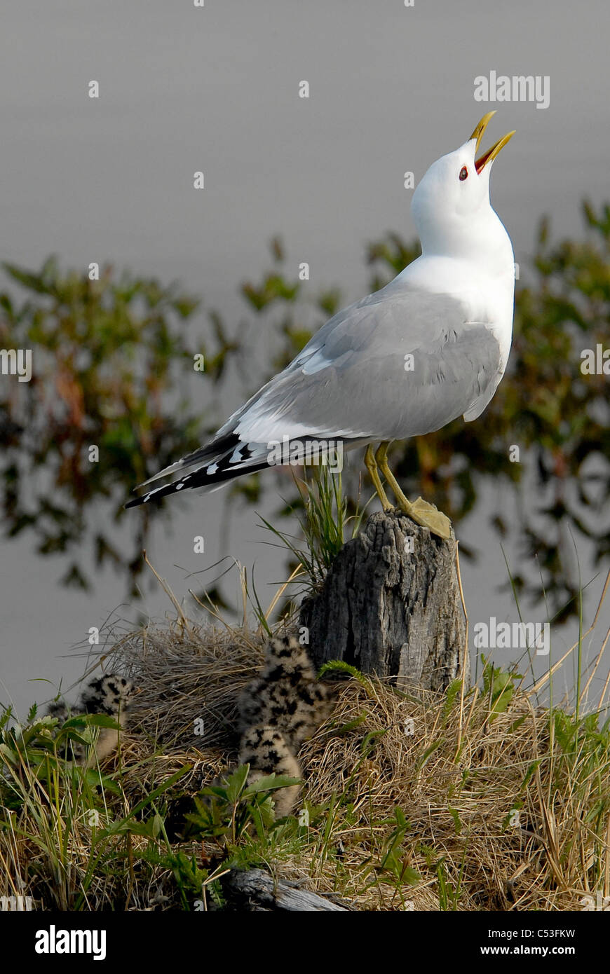 Close up view of a Glaucous Gull with her nesting chicks at Potter Marsh, Anchorage, Southcentral Alaska, Spring - Stock Image