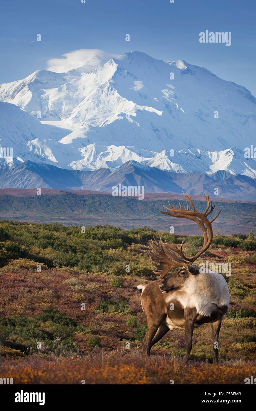 Caribou bull standing on a ridgeline with Mt. McKinley and Denali National Park in the background, Alaska. COMPOSITE - Stock Image