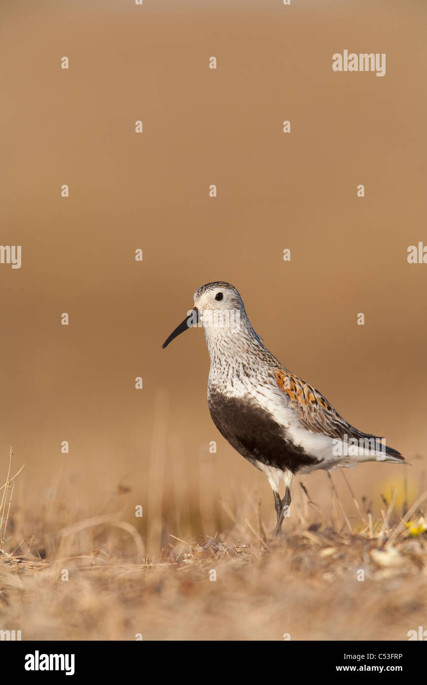 Dunlin standing on tundra of Arctic breeding grounds of the Arctic Coastal Plain, NPR, Alaska - Stock Image