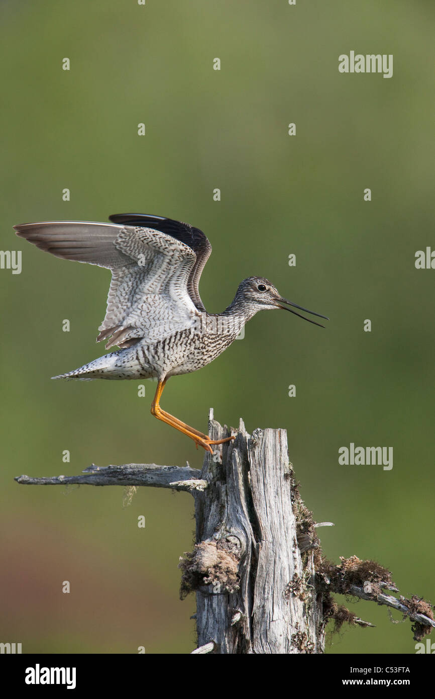 Greater Yellowlegs makes a territorial display over nest by landing on a dead tree with wings open, Copper River - Stock Image