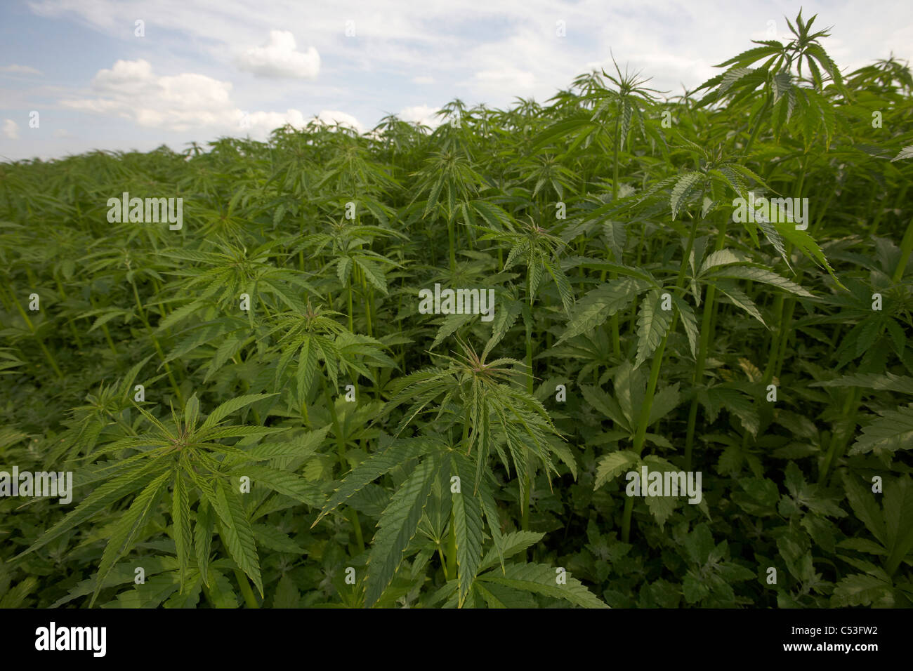 Commercial Hemp Crop Growing In East Yorkshire Uk Field Of Cannabis Stock Photo Alamy
