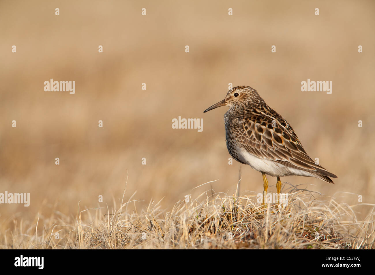 Pectoral Sandpiper standing on tundra breeding ground, Arctic Coastal Plain, NPR, Alaska - Stock Image