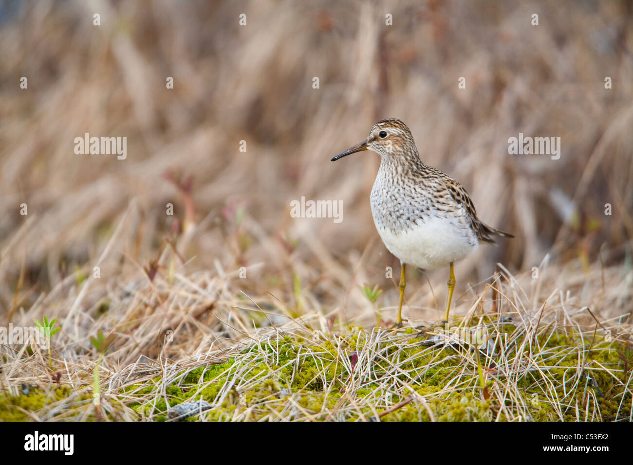 Pectoral Sandpiper on Copper River Delta during Spring migration, near Cordova, Southcentral Alaska, Spring - Stock Image