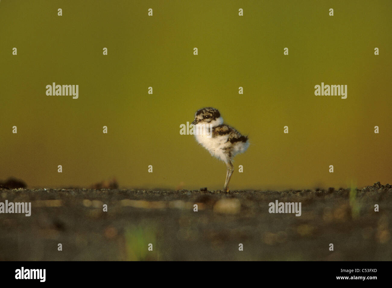 Semipalmated Plover newly hatched chick on Copper River Delta, Southcentral Alaska, Autumn - Stock Image