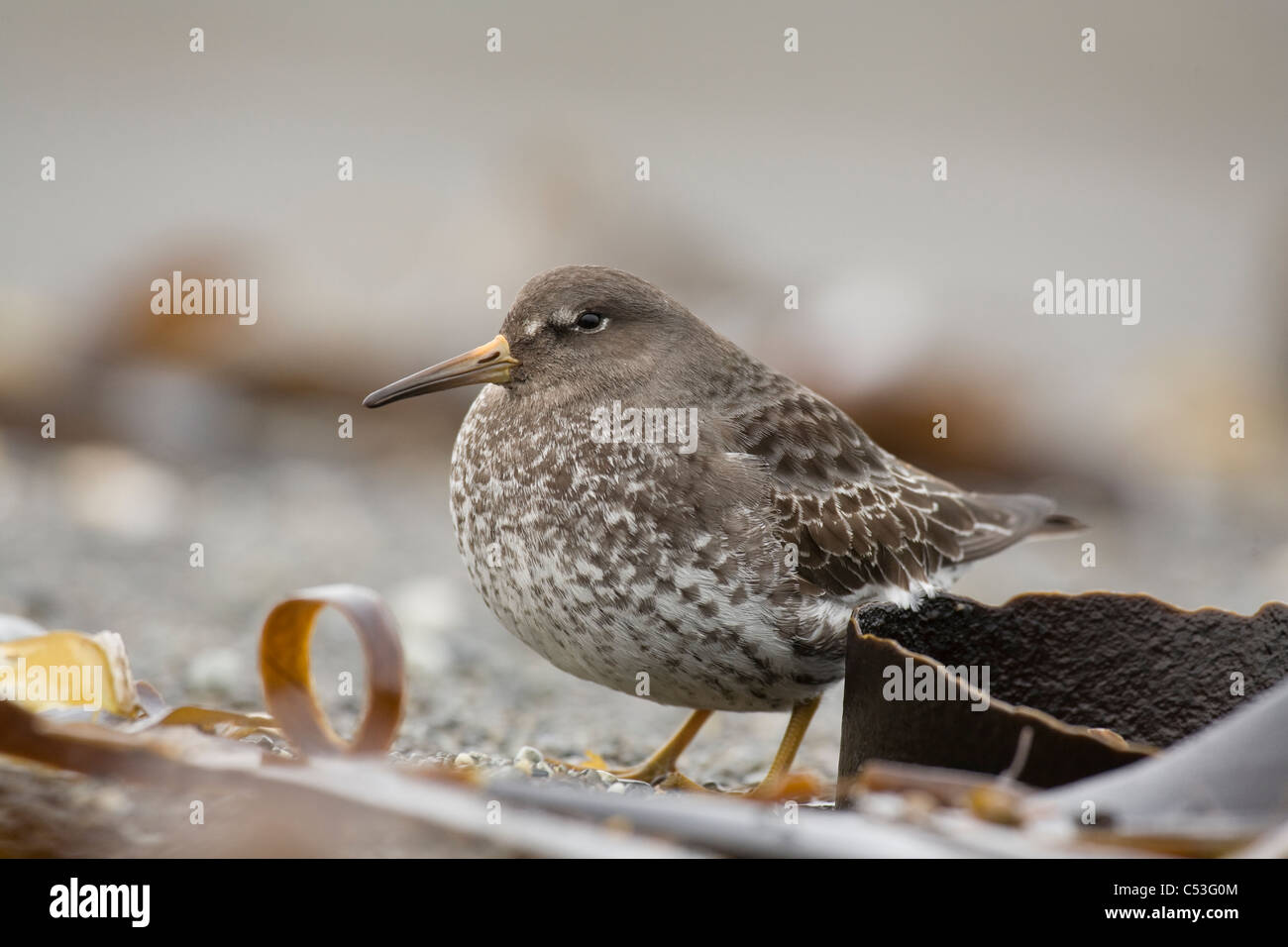 Rock Sandpiper in Winter plumage, Kodiak Island, Southwest Alaska, Winter - Stock Image
