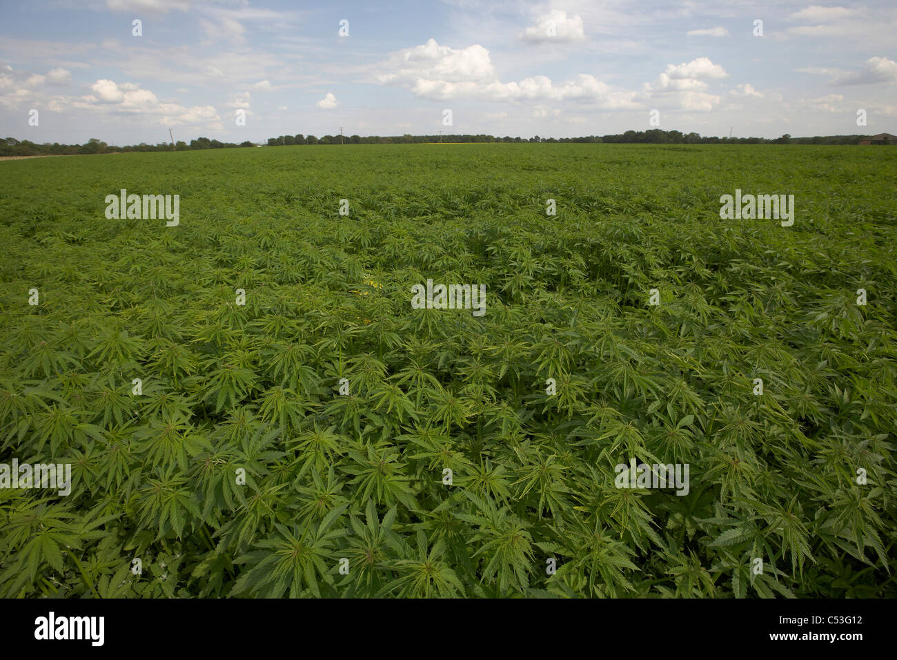 Commercial Hemp crop growing in East Yorkshire, UK. Field of cannabis plants, Cannabis sativa. - Stock Image