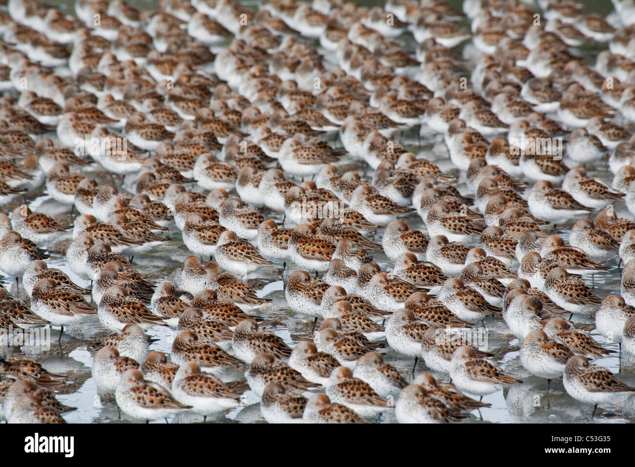 Large flock of Western Sandpipers on the mud flats of Hartney Bay during Spring migration, Copper River Delta, Alaska - Stock Image