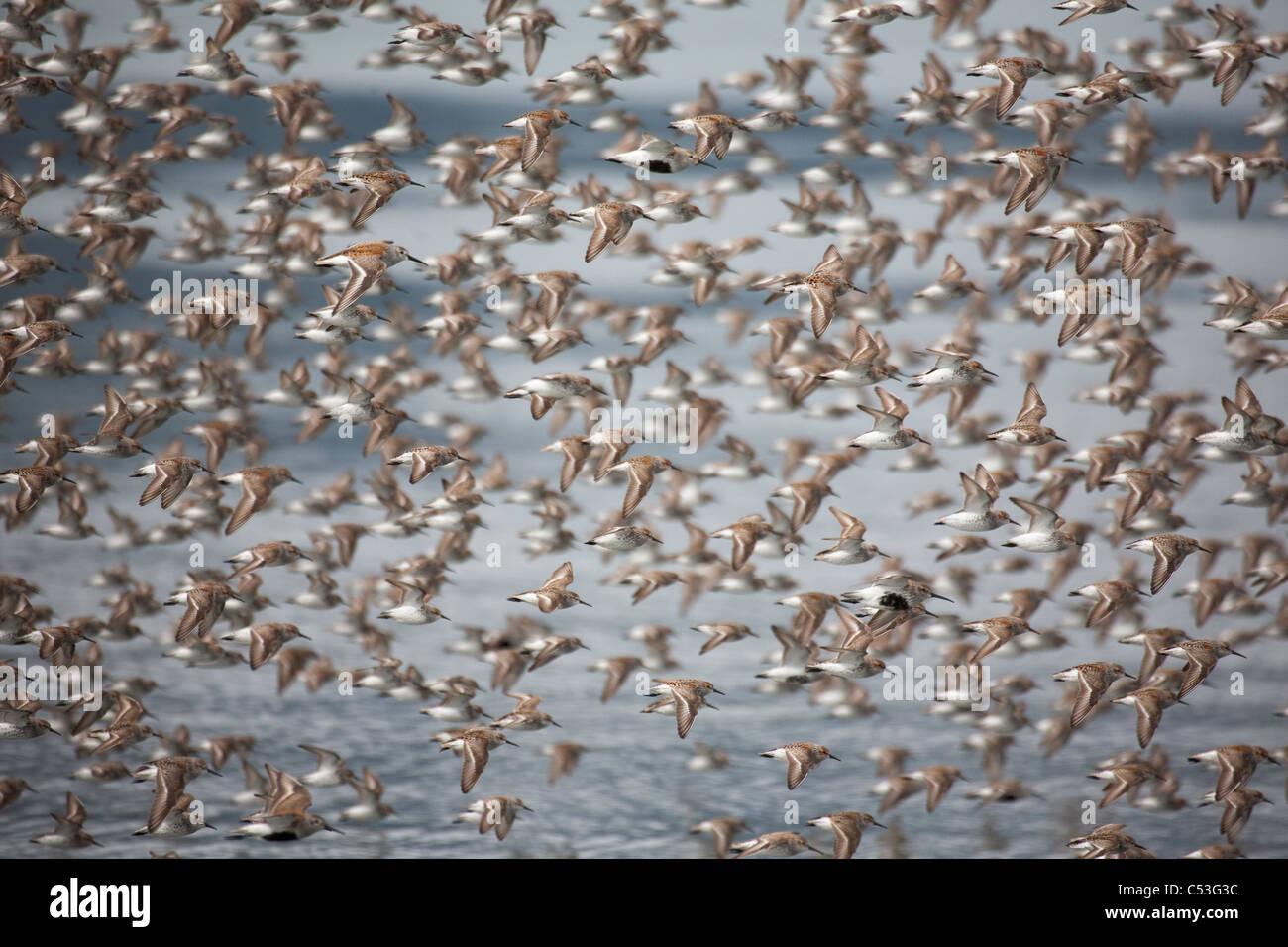 Large flock of shorebirds taking flight on mud flats of Hartney Bay during Spring migration, Copper River Delta, - Stock Image