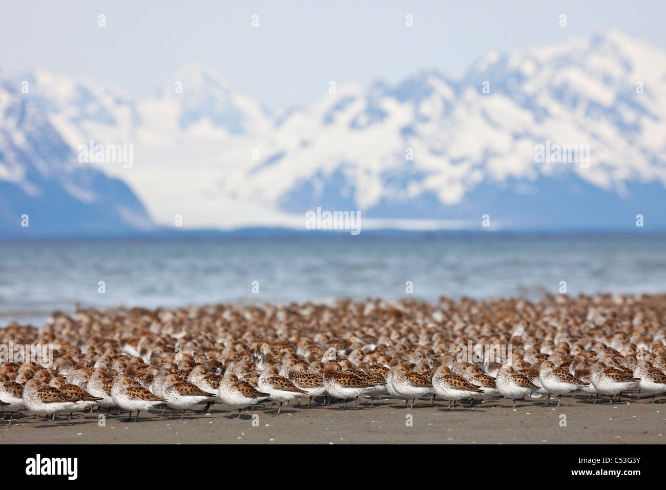 Western Sandpiper and Dunlins gathered on the mudflats of Hartney Bay  Sheridan Glacier in the background, Alaska - Stock Image