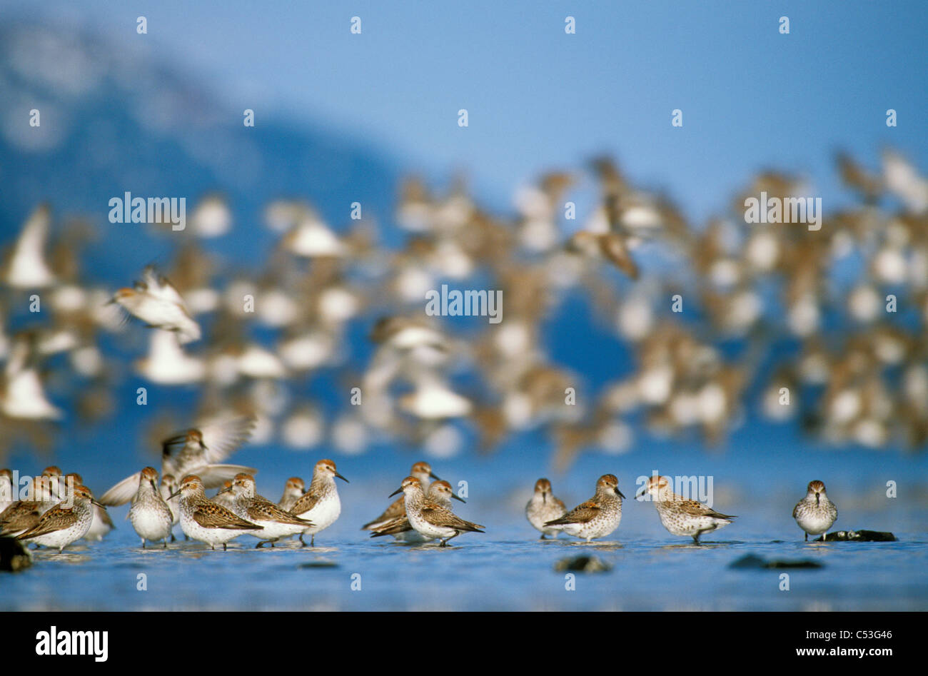 Shorebird flock (mostly Western Sandpipers and Dunlins) during Spring migration, Copper River Delta,Southcentral - Stock Image